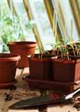 Pepper seedlings in pots Royalty Free Stock Photos