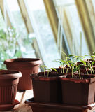 Pepper seedlings in pots Royalty Free Stock Image