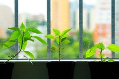 Pepper seedlings Royalty Free Stock Photos