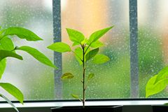 Pepper seedlings Royalty Free Stock Photography