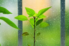 Pepper seedlings Royalty Free Stock Images