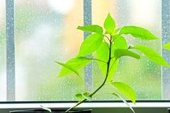 Pepper seedlings Stock Photography