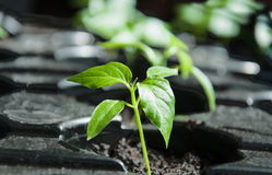 Pepper seedlings ready for plant Royalty Free Stock Images