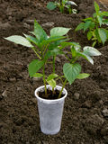 Pepper seedlings Stock Images