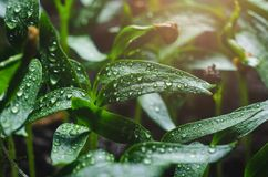 Pepper seedlings with water droplets on the leaves.  royalty free stock photos