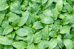 Pepper Seedlings, young foliage of pepper, Spring seedlings. Royalty Free Stock Image