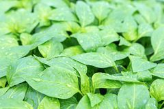 Pepper Seedlings, young foliage of pepper, Spring seedlings. Royalty Free Stock Images