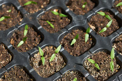 Pepper seedlings Stock Photos