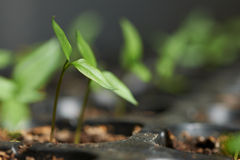 Pepper seedlings Stock Photo