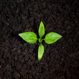 Pepper sprout Royalty Free Stock Photo