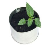 Pepper sprouts. In a small pot, a white background royalty free stock images