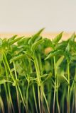 Pepper sprouts seedlings in a covered ground. Stems of young pepper seedlings in a tray with closed ground stock images