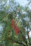 Pepper tree Royalty Free Stock Photos