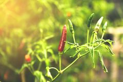 The pepper tree Stock Photo
