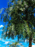 Pepper tree, called pink pepper Royalty Free Stock Images