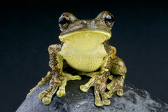 Pepper Tree Frog / Trachycephalus venulosus Stock Image