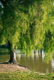 Pepper tree by a lake Royalty Free Stock Photo