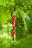 Pepper on the tree Royalty Free Stock Photography