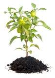 Pepper tree Stock Photo