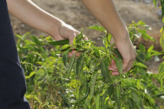 PEPPER IN THE VEGETABLE GARDEN. Hand picking green pepper in the vegetable garden royalty free stock images