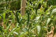 Pepper in the vegetable garden Royalty Free Stock Image