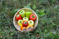 pepper in wooden basket Royalty Free Stock Photo