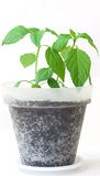 Pepper young plant Royalty Free Stock Images