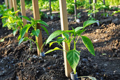 Pepper young plants Stock Image