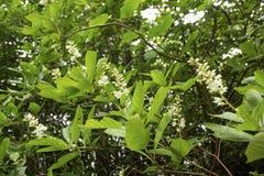Pepperbush doux côtier fleurissant sur Cape Cod, le Massachusetts images stock