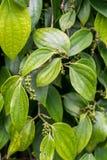 Peppercorn roślina obrazy royalty free
