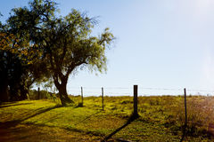 Peppercorn tree next to fence in early morning light royalty free stock photos