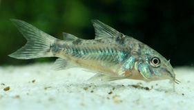 Pepperd armored catfish. Peppered armored catfish (corydoras) in a tank royalty free stock images