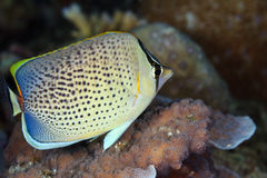 Peppered Butterfly-fish, Maldives Stock Photos