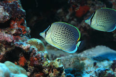 Peppered butterflyfish Stock Image