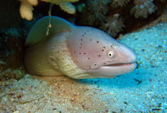 Peppered Moray Royalty Free Stock Image