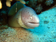 Peppered Moray Eel. Strait of Tiran, Egypt Stock Images