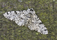 Peppered Moth royalty free stock photo