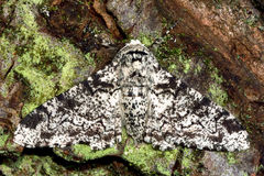 Peppered moth (Biston betularia) on lichen covered bark Stock Photos