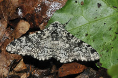 Peppered Moth Stock Photo