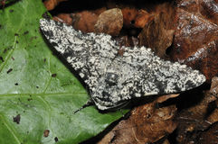 Peppered Moth Royalty Free Stock Photography