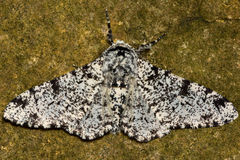 Peppered moth (Biston betularia) light form against stone Royalty Free Stock Photos