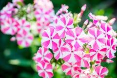 Peppermint άνθισης phlox ` συστροφή ` στον κήπο Στοκ φωτογραφίες με δικαίωμα ελεύθερης χρήσης