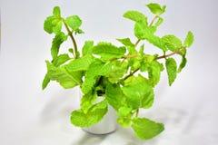 ` Peppermint ` που οι βοτανικές εγκαταστάσεις μπορούν να φάνε τα λαχανικά μπορεί peptone Στοκ φωτογραφία με δικαίωμα ελεύθερης χρήσης