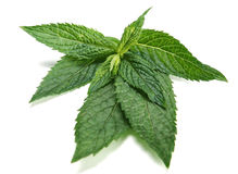Peppermint. Herb on white background Royalty Free Stock Photography