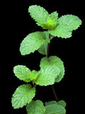 Peppermint. Green peppermint isolated on black background Stock Photography
