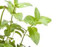 Peppermint Stock Photography