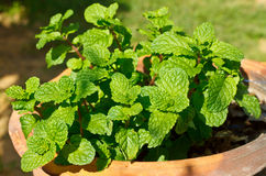 Peppermint Stock Image