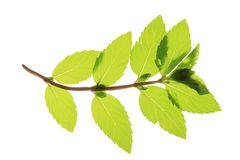 Peppermint. A sprig of mint on a white background Stock Image