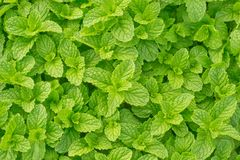 Peppermint. Close up of Peppermint leaf Stock Image