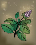Peppermint. Illustration of medicinal plant Peppermint Stock Photos
